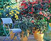 Seating with Cestrum elegans, Euryops chrysanthemoides