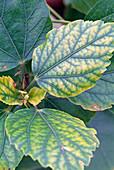 Hibiscus rosa-sinensis (Roseneibisch), bis August 2 mal