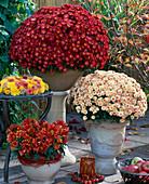 Dendranthema Garden Mums 'Wuhai' red