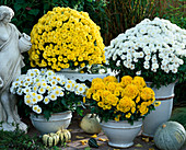 Dendranthema Garden-Mums Dreamstar 'Artemis' white, yellow, 'Yulin' yellow