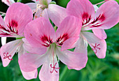 Pelargonium 'Sweet Mimosa'
