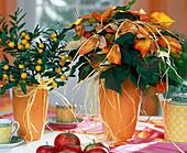 Euphorbia pulcherrima 'Fantasy star' orange
