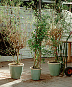 Solanum rantonnetii (potato bush), Plumbago auriculata