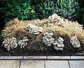 Oyster mushrooms grown on straw