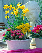 Plant bowl with iris, daffodils and bellis