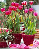 Tulipa hybrid pulchella 'Violacea', 'Abba', 'Early Glory'