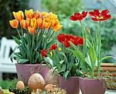 Tulipa hybrid 'Princess Irene'