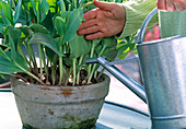 For further cultivation, the tulips must be fertilized