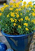 Erysimum rhaeticum (perennial gold lacquer)
