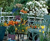 Spring balcony, Azalea hybrid, Tulipa 'Prinzess Irene'