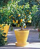 Citrus 'Fukushu'