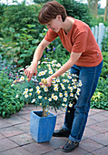 Remove Argyranthemum frutescens faded parts regularly