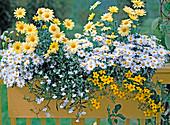 Argyranthemum frutescens, Lobelia erinus
