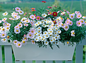 Argyranthemum frutescens, light pink