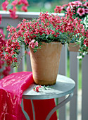 Diascia hybrid 'Red Ace' in high terracotta on iron table