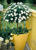 Agyranthemum frutescens 'Maja Bofinger'