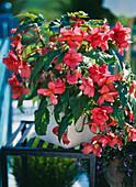 Begonia tuber begonia hybrid 'Nonstop salmon pink'