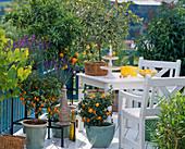 Fortunella margarita 'Nagami' (Oval Kumquat), Citrus reticulata