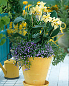 Canna indica (Indisches Blumenrohr), Lobelia erinus