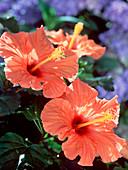 Hibiscus rosa-sinensis 'Cairo'