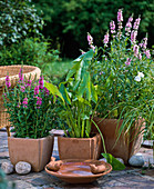 Terracotta pots filled with water and with Lythrum salicaria