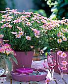 Argyranthemum 'Summit pink' (Rosa Marguerite)