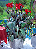 Canna indica (Indian flower tube)