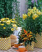 Argyranthemum frutescens 'Butterfly', Antirrhinum majus