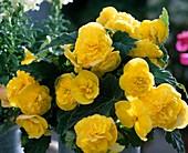 Begonia 'Non-stop yellow'