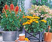 Celosia argentea, Calendula (Marigold), Nicotiana 'Dynamo'