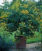 Cassia corymbosa (spice bark)