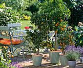 Citrus reticulata (Mandarin), Fortunella (Kumquat), Lavandula