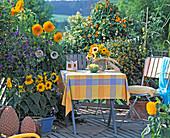 Balcony with Helianthus 'Pacino', 'Lanta Fe', Solanum