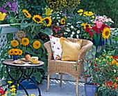 Helianthus annuus 'Teddy Bear', 'Sunrich Orange', Petunia
