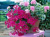 Pelargonium duet 'Chelsea Gem' (Pink), Pelargonium