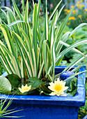 Acorus calamus 'Variegata', Nymphaea hybrid 'Moorei'