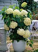 Hydrangea arborescens 'Annabelle' (Hydrangea) in a tub