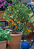 Fortunella (Kumquat)