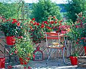 Red Balcony, Hibiscus (Rosemary), Quamoclit, Impatiens