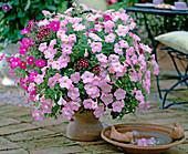 Petunia 'Mirage lilac' and 'Mirage pink', Verbena 'Quartz'