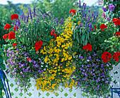 Pelargonium x hortorum 'R.M. Scarlet'