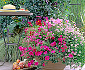 Verbena 'Coral Pink', Cosmos 'Sonata Carmine', 'Sonata Pink'