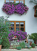 Window and balcony with Petunia surfinia 'Sky Blue'