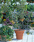 Apple, dwarf apple, strawberries in pots