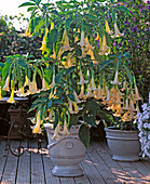 Datura hybrid 'Grand manner' (angel trumpet)