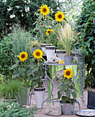 Helianthus annuus 'Soraya' (sunflower), Stipa tenacissima