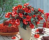 Impatiens New Guinea hybrid paradise 'Orange Neptis'