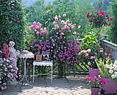 Pink balcony, Asarina, Cosmos 'sonata pink', Verbena