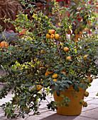 Chaenomeles hybrid (ornamental quince)