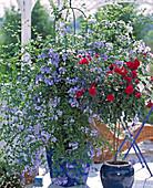 Stem Rose, Plumbago auriculata (leadwort)